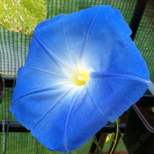 Photo Close-up Of Blue Morning Glory Blooming Outdoors