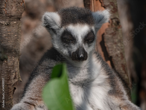 Photo Ring-tailed Lemur Lemur catta sits under a tree and looks away