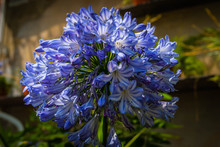 Blue Agapanthus Blossom