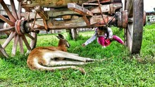 Girl Feeding Grass To Kangaroo Relaxing Under Wooden Wagon On Field At Farm