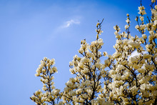 A Large Magnolia With White Fl...