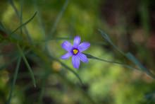 Blue Eyed Grass Flower