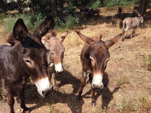 Canvas Print Donkeys Walking On Field