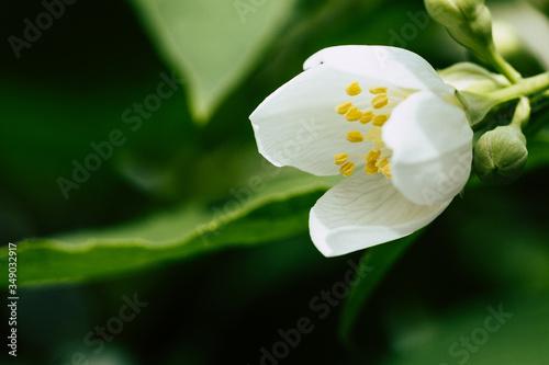 Fleur blanche de seringa dans le jardin Canvas Print