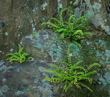 Maidenhair Spleenworts (Asplen...