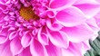 canvas print picture - Close-up Of Pink Dahlia Flower