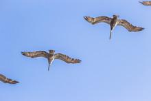 Brown Pelicans Flying Overhead