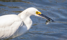 Snowy Egret Catches A Fish