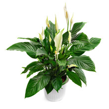 Peace Lily Houseplant, Spathip...