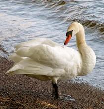 Portrait Of Swan