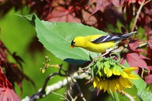 High Angle View Of Gold Finch Perching On Sunflower Blooming Outdoors