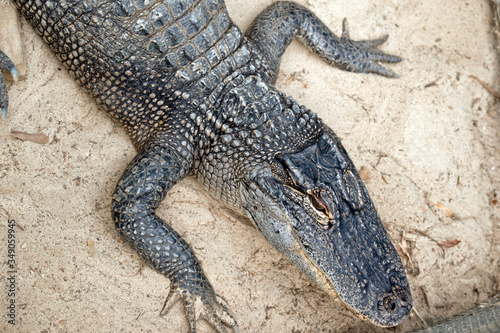 this is a close up of an alligator Canvas Print