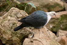 The White Headed Pigeon Is Perched On Rocks