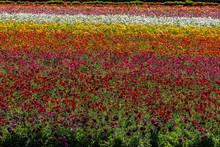 Spring At Carlsbad Tulip Fields