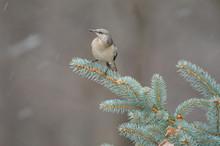 Northern Mockingbird (Mimus Polyglottos) In Snowstorm;   Maryland