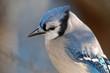 Blue jay (Cyanocitta cristata); Maryland
