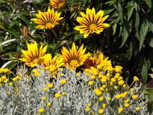 Yellow Gazania Flowers In Field