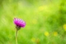 Purple Wildflower In Meadow