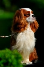 Close-up Of Cavalier King Charles Spaniel