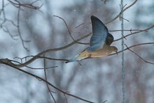Mourning Dove On Branch During Winter