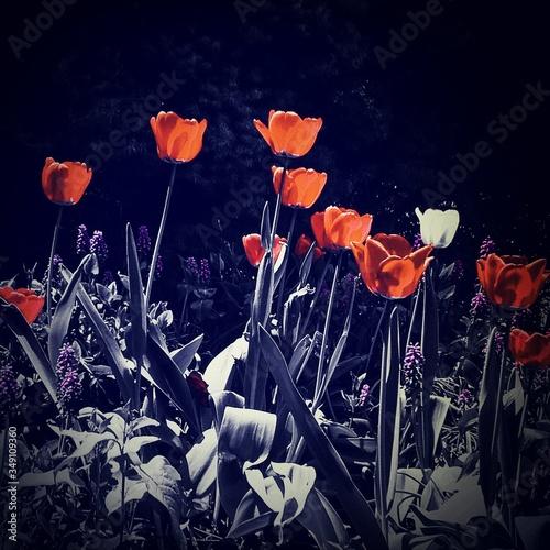Slika na platnu Red Tulips
