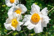 Matilija Poppies, Romneya Coulteri, California Giant White Tree Poppy Flowers