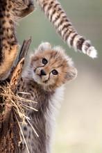 Small Baby Cheetah Cub South Africa