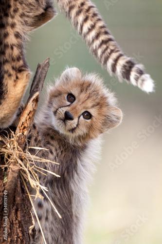 Papel de parede Small baby Cheetah cub South Africa
