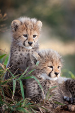 Two Young African Cheetah Cubs South Africa