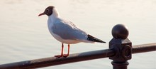 Black-headed Gull Perching On Railing By Sea
