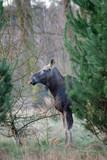 Fototapeta Zwierzęta - łoś w lesie