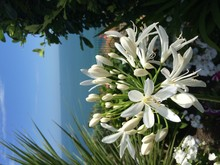 Close-up Of White Agapanthus Blooming In Park Against Sea