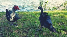 Muscovy Ducks On Riverbank