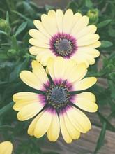 Macro Shot Of Yellow Gazania Flowers