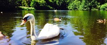 Panoramic View Of Swans And Ma...
