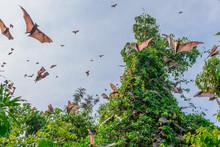 Flying Foxes ( Bats)  In The Blue Sky, Wild Nature, Lake Kivu, Rwanda