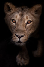 Lioness Looks Passionately And...