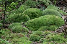 Green Moss Leucobryum Glaucum ...