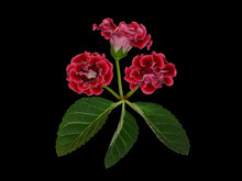Bunch Of Crimson Gloxinia Flowers Isolated On A Black Background For Postcard Design. Gloxinias Signify Love At First Sight