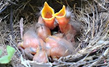 High Angle View Of Young Birds On Nest
