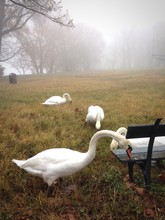 Mute Swans On Grassy Field During Foggy Weather