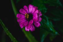 Beautiful Close Up Of Pink  Zinnia Flower, Shot On Macro