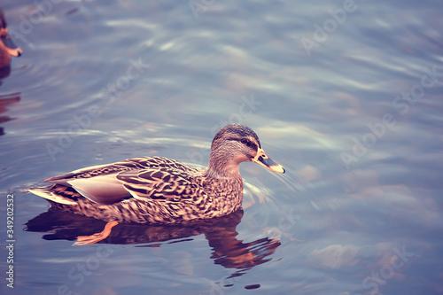 ducks on a pond in autumn, wild birds, duck mallard Canvas Print