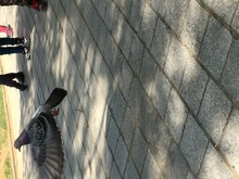Pigeon Flying Up From Pavement