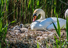 Swan And Cygnets Nesting