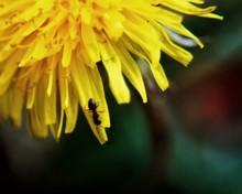 Ant On Petal Of Dandelion