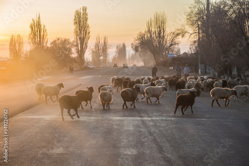 Kyrgyzstan - Cholpon-Ata - The herd of sheeps crosses the road going from pastur Canvas Print