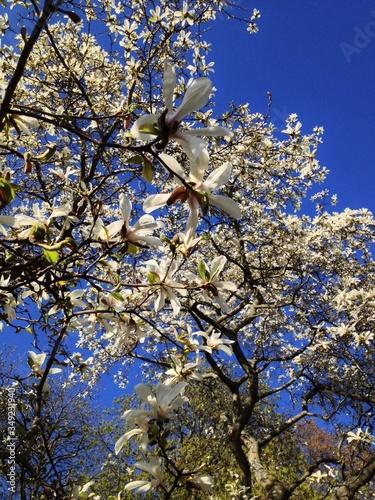 Obraz na plátně Close-up Of Fresh White Magnolia Blooming In Vita Bergen Park