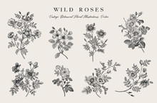 Wild Roses. Botanical Floral Vector Illustration. Black And White