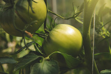 Green Tomatoes On The Bushes. ...